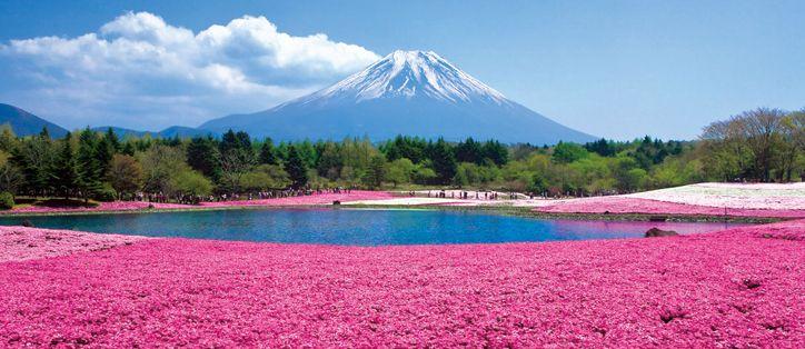 พิงค์มอส ดอกไม้แห่งญี่ปุ่น