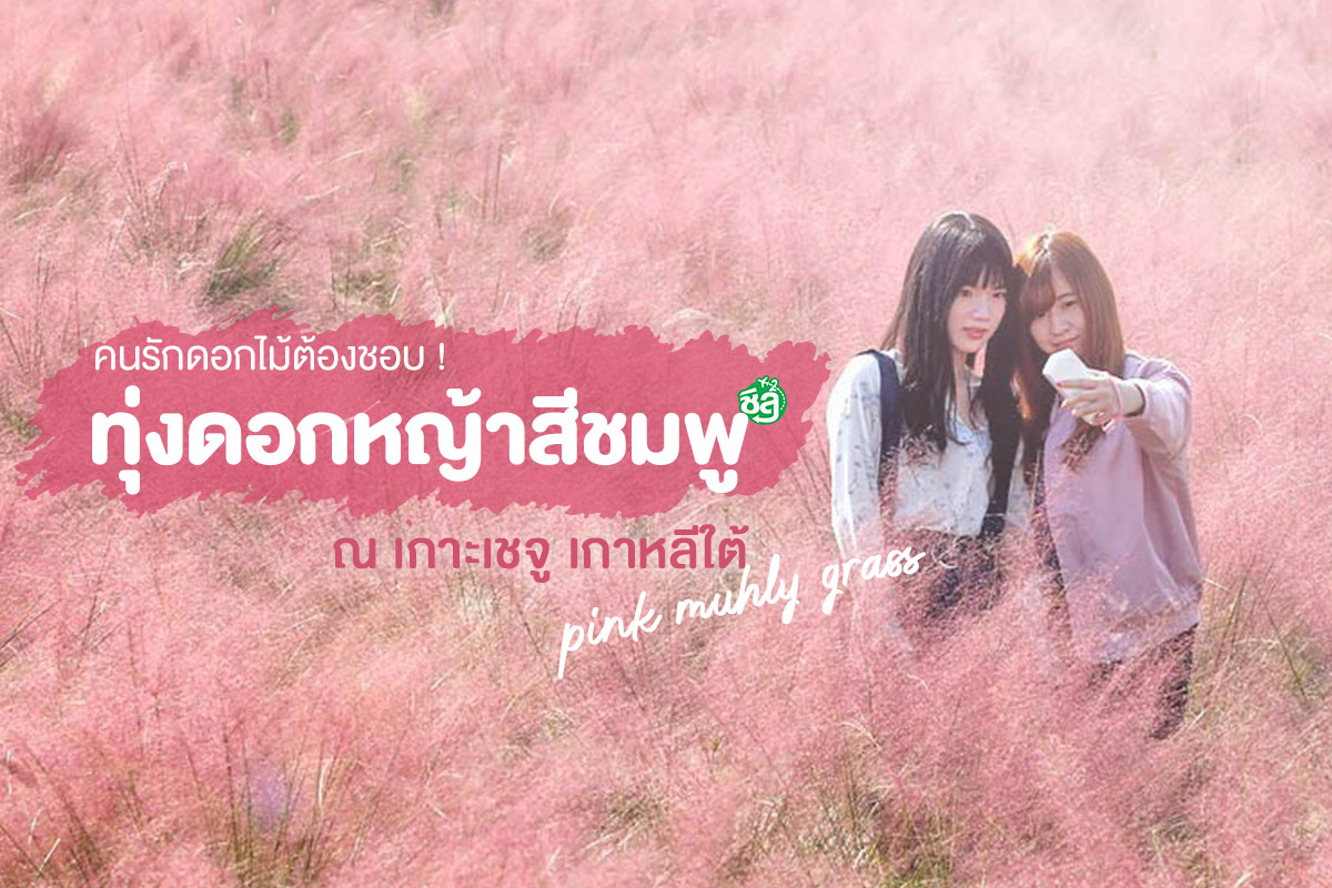 คนรักดอกไม้ต้องชอบ ! ทุ่งดอกหญ้าสีชมพู พิงค์มูลลี่ ณ เกาะเชจู เกาหลีใต้