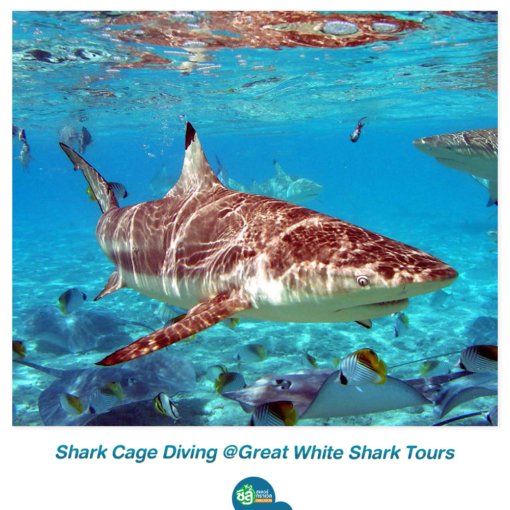 Shark Cage Diving @Great White Shark Tours