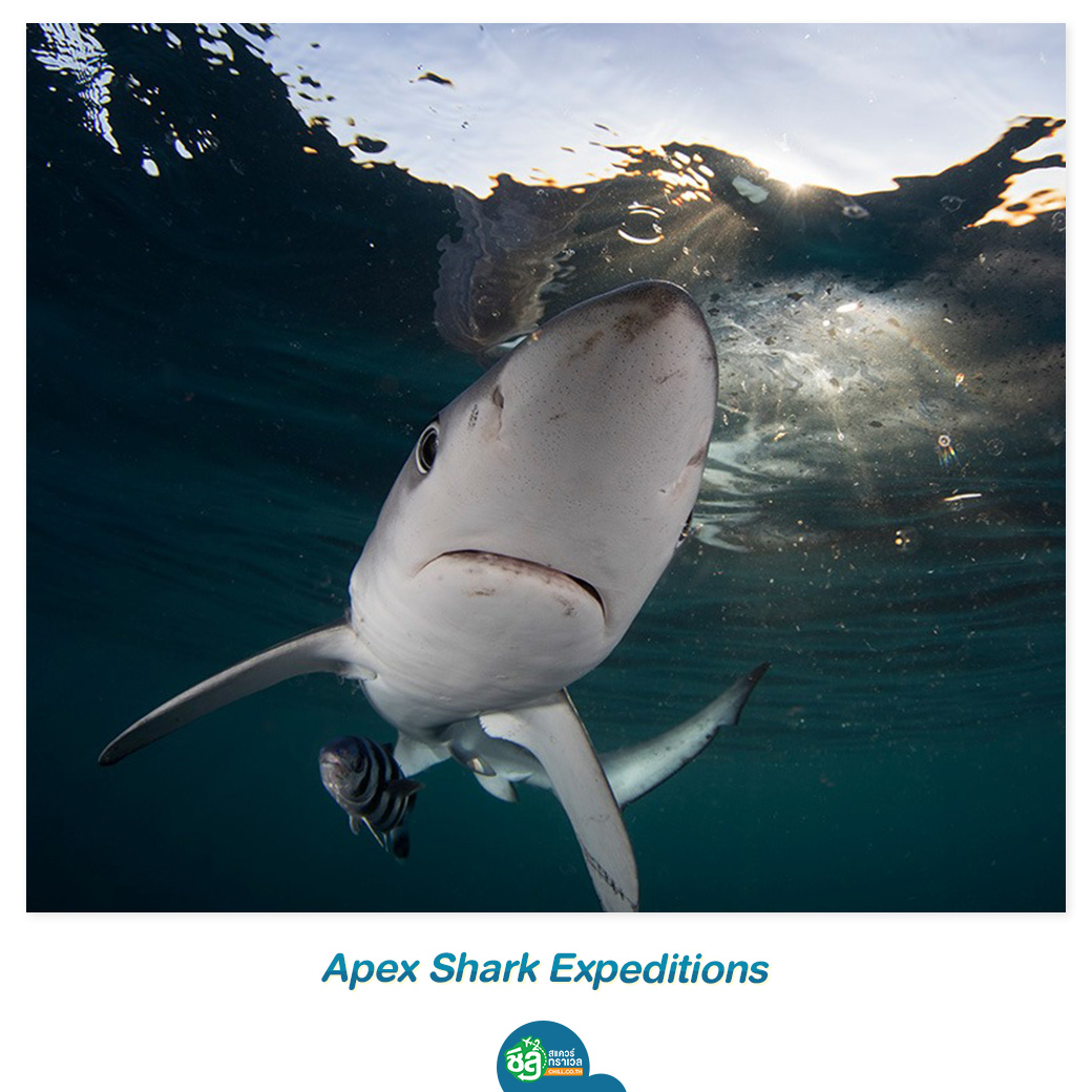 Apex Shark Expeditions