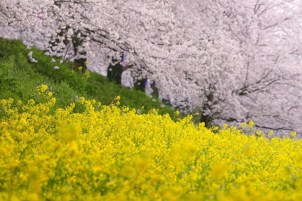ดอกนาโนะฮานะ, ชิลสแควร์, chill, ทัวร์ญี่ปุ่น, อาทิตย์อุทัย, โตเกียว,ภูเขาไฟฟูจิ, อันตระการตา, ล่องเรือโจรสลัด, นมัสการ, เจ้าแม่กวนอิมทองคำ ณ วัดอาซากุสะ + วัดนาริตะซัน ชินจูกุ, ภูเขาไฟฟูจิ, ล่องเรือโจรสลัด, นมัสการ, เจ้าแม่กวนอิมทองคำ, ณ วัดอาซากุสะ, วัดนาริตะซัน, ช้อปปิ้ง, ชินจูกุ, บุฟเฟต์ขาปูยักษ์, ไกค์พาทัวร์, รถไฟ JR, Shinkansen, อิสระ 1 วันเต็ม,